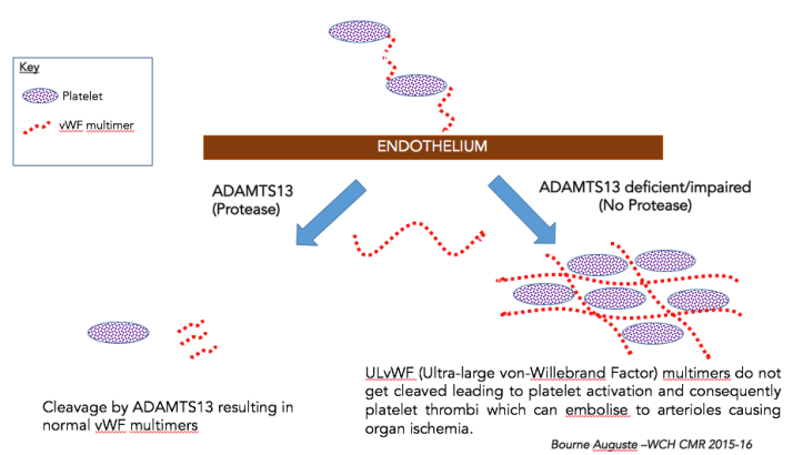 Schematic Simplification of Pathophysiology highlighting TTP.